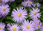 Aster 'Dove Blue'